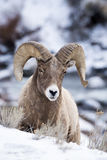 Снежные бараны в снеге Стоковое фото RF