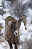 Снежные бараны в снеге Стоковые Изображения RF