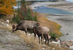 Снежные бараны, канадские скалистые горы Стоковая Фотография