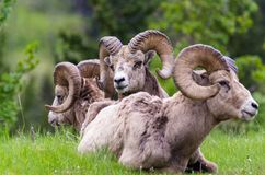 Снежные бараны - сидеть овец canadensis 3 барана стоковые изображения rf