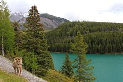 Снежные бараны скалистой горы, латинское canadensis canadensis барана имени, Banff, Канада стоковые изображения