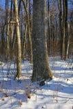 снежные древесины Стоковое Изображение RF