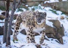 Снежный барс Стоковое Фото