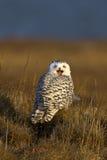 снежный squawk Стоковые Фотографии RF