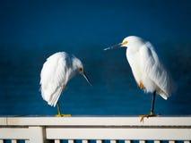 2 снежных egrets Стоковые Изображения RF