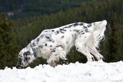 снежок английского сеттера Стоковое Изображение RF