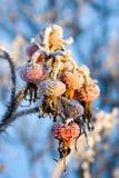 снежок вальмы розовый Стоковое Фото