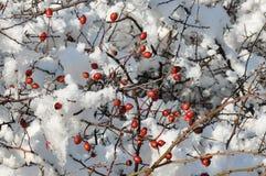 снежок вальм розовый Стоковое Фото