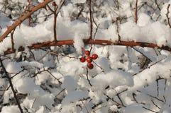 снежок вальм розовый Стоковые Изображения RF