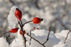 снежок вальм розовый Стоковые Фотографии RF