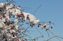 снежок вальм розовый Стоковые Изображения