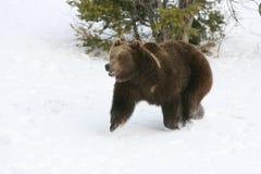 снежок гризли медведя идущий Стоковое Изображение