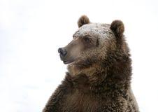 снежок гризли медведя предпосылки Стоковая Фотография RF