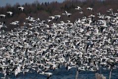 снежок гусынь стаи полета большой принимая к Стоковые Фото