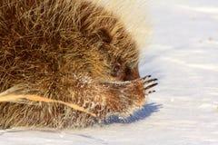 снежок дикобраза Стоковая Фотография RF