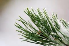 снежок ели ветви Стоковые Фото