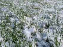 снежок зеленого цвета травы вниз стоковая фотография rf