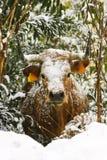 снежок коровы bush Стоковая Фотография