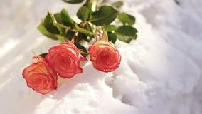 снежок красного цвета розовый Цветок, зима, заморозок видеоматериал