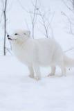 снежок ледовитой лисицы Стоковая Фотография