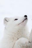 снежок ледовитой лисицы Стоковые Фотографии RF