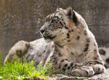 снежок леопарда Стоковое Фото