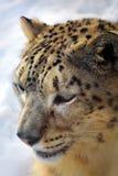 снежок леопарда Стоковые Фотографии RF
