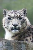 снежок леопарда Стоковые Изображения RF