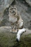 снежок леопарда Стоковые Фото