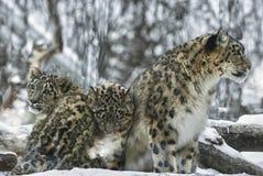 снежок леопардов стоковые фотографии rf