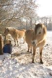 снежок лошадей Стоковое фото RF