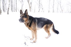 снежок немецкого чабана собаки Стоковое Фото
