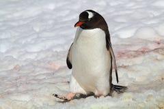 снежок пингвина gentoo Антарктики маршируя Стоковые Фото