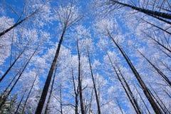 Снежок сени дерева ольшаника обернутый против голубого неба Стоковая Фотография