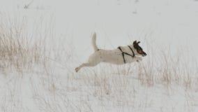 снежок собаки идущий Стоковые Изображения