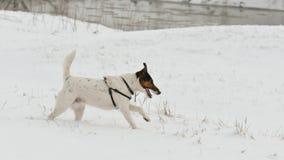 снежок собаки идущий Стоковое Фото