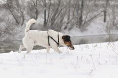снежок собаки идущий Стоковые Фото