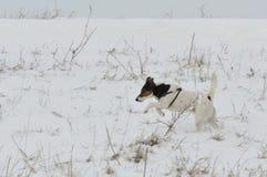 снежок собаки идущий Стоковое Изображение RF