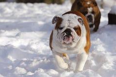 снежок собаки идущий Стоковая Фотография