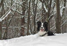 снежок собаки Коллиы граници Стоковое Изображение