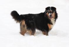 снежок собаки Стоковое Фото