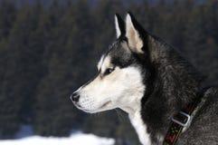 снежок собаки Стоковые Изображения RF