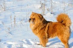 снежок собаки Стоковая Фотография RF