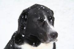 снежок собаки Стоковая Фотография