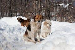 снежок собак Стоковое Фото