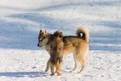 снежок собак Стоковое Изображение
