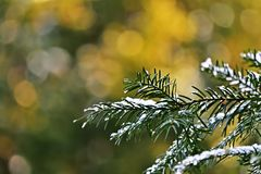 снежок сосенки ветви Стоковые Фотографии RF
