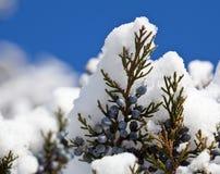 снежок сосенки ягод голубой падая Стоковые Фото