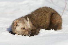 снежок сосенки martin Стоковая Фотография RF