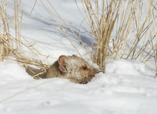 снежок сосенки martin Стоковое фото RF